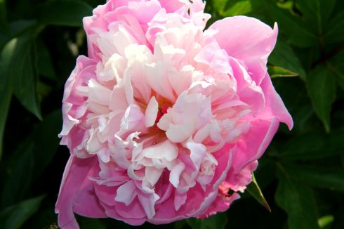 "Paeonia Lactiflora ""Raspberry Sundae"""