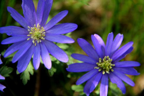 Blå Balkan anemone