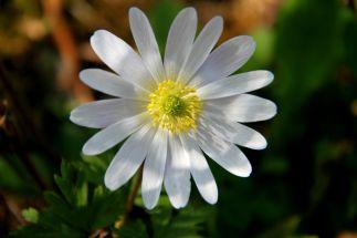 Hvid Balkan anemone