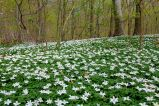 Anemoner i Tirsdagsskoven