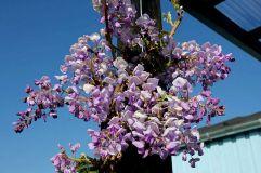 """""""Wisteria Okayama Fuji"""" i blomst"""