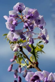 "Blåregn ""Wisteria Okayama Fuji"" i blomst"