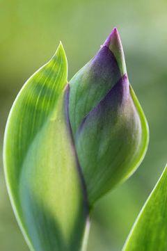Iris på vej til udspring