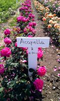 Acapella® rose