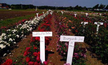 Frans Bruuns rosenmark i fuldt flor
