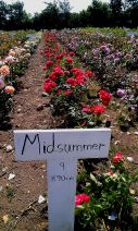Midsummer® rose