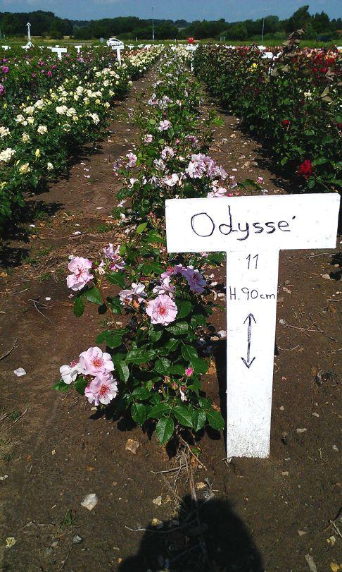 Odyssey® rose