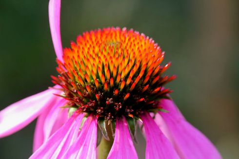 "Echinacea ""Pica Bella"""