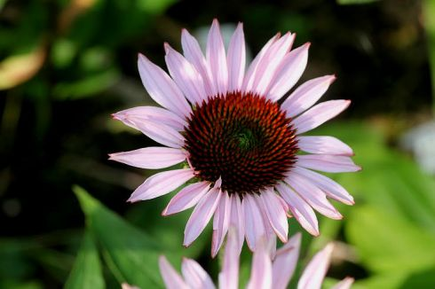 "Echinacea ""Hope"""