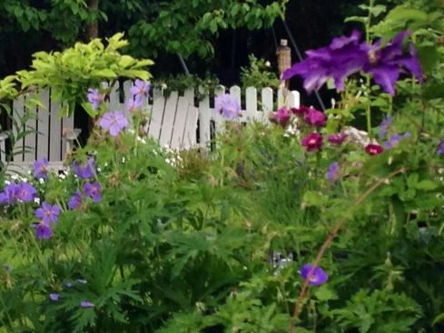Geranium Pratense, rose 'Rhapsody in blue' og clematis.