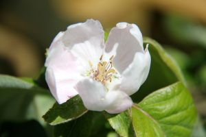 Kvædetræ i blomst